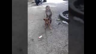 Khỉ giao phối với chó