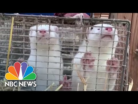 Covid Outbreaks On Mink Farms Stir Controversy Among Scientists | NBC News NOW