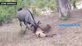BEST SPEED LEOPARD Chase Hunting Attack Real Fight Powerful Leopard 🔥🔥