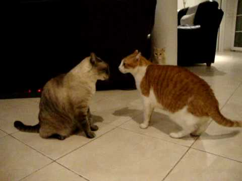 Cats arguing! the best cat video you'll ever see!!