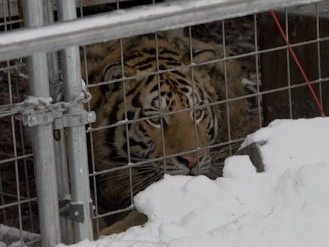 Thumbnail for Ohio exotic animal owners battle state over regulations