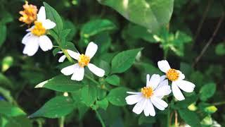 Hoa vẫn nở trên đường quê hương, Sáng tác: Phạm Thế Mỹ, Trình bày: Nguyễn Tuấn Khoa