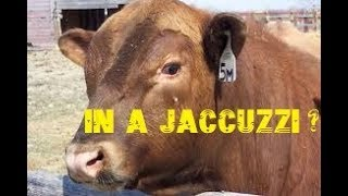 EVER SEEN A BULL IN A JACUZZI?