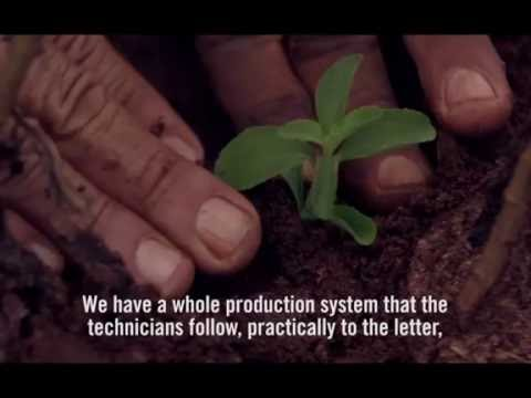 A PureCircle agronomist explains how the company works with stevia farmers.