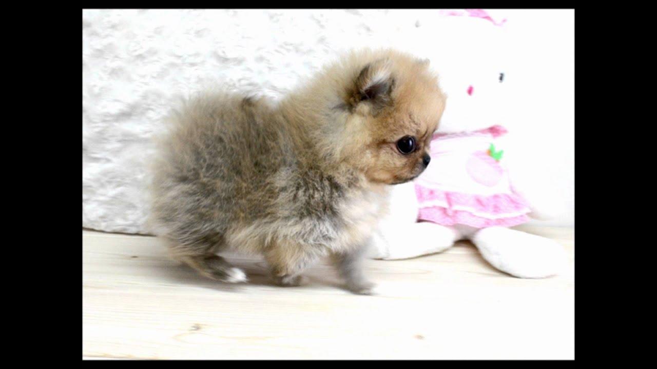 Boutique Teacup Puppies Micro Teacup Pomeranians Tiniest