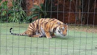 Do not do this when You feed a tiger that is still in the house !