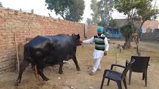 Thaan bahut acche Hain( buffalo sale hai)👍👍👍 07009492709