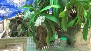 Hoa lan tháng 12 (không thực hiện chế độ cắt nước nở sớm)