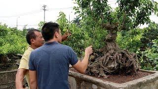 Đến thăm vườn cây cảnh bonsai lớn nhất Việt Nam