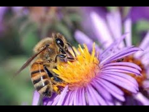 Cinema Modeoff Bees and Flowers Pollination - Flowers and Bees Life in Nature ( H