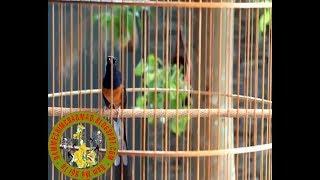 chim chich choe lua hot giọng rừng đảo giọng cực hay
