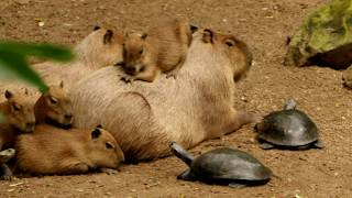 Why Do Animals Like Capybaras (Most Lovable Critter) So Much ?