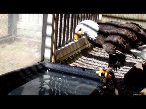 "Bald Eagle ""Woody"" hunting fish"