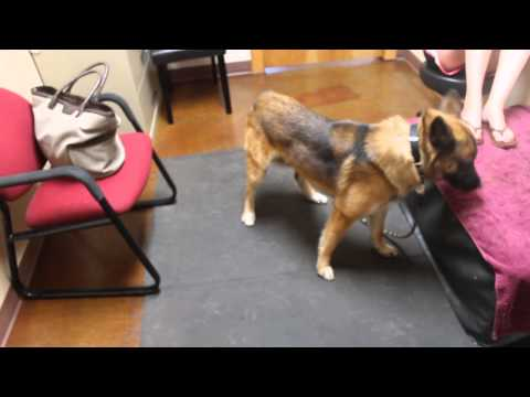 Abnormal aggressive circling in a dog (Video 2)
