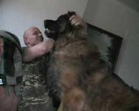 Hercules - jeden z największych psów na świecie