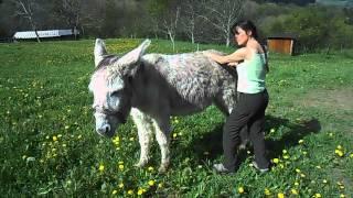 Shiatsu sur un âne