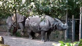 Mating Indian rhino's loving each other @ Diergaarde Blijdorp - Rotterdam Zoo