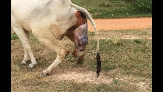 How Cow Give Birth