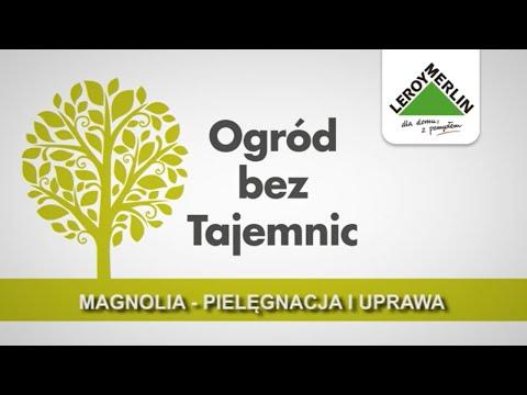 Magnolia - pielęgnacja i uprawa