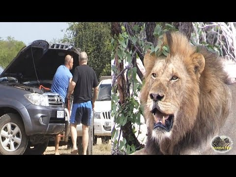 Jump Start Car While Huge Lion Watch