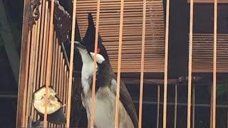 Chào mào bổi già rừng chim vùng quảng trị clip 114.