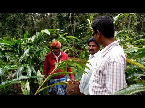 Cardamom Plantation - Testimonial of Mahakaal