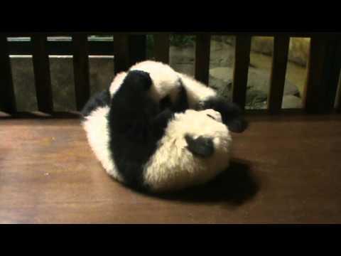 Así juegan los bebés osos pada del Zoo