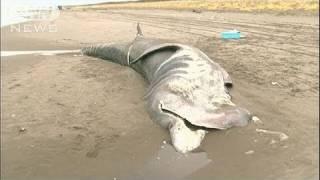 ウバザメの死骸