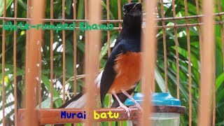 White-rumped Shama(Mr. Tak Tak...)