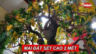 Ngỡ ngàng cây mai đất sét cao 2 mét sống động như thật | NLĐTV