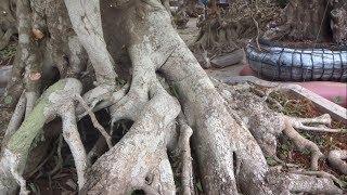 Tiền cẩu 1 cây này đi bán là 15 triệu, báo giá loạt cây khủng - super trees at the bonsai market
