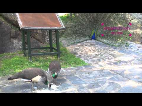 Useless peacock tail dance
