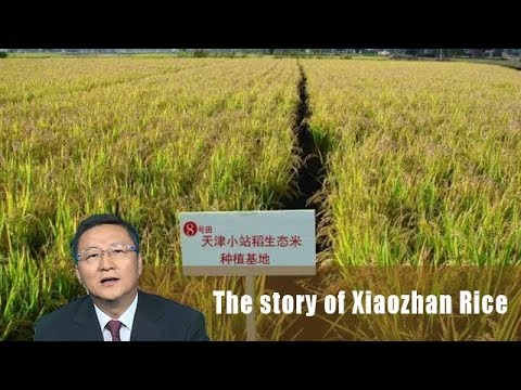 A taste of Chinese food culture - The story of Xiaozhan Rice