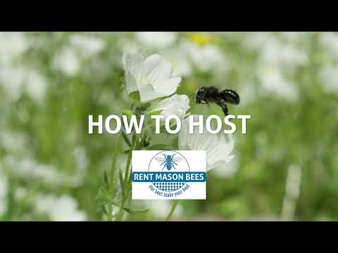 How to Rent & Host Mason Bees