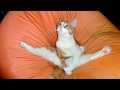 Funny CATS - HOLD YOUR LAUGH IF YOU CAN (CHALLENGE)