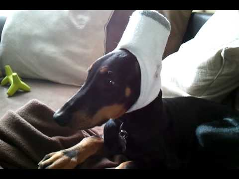 Doberman After Ear Cropping Surgery Youtube