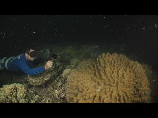 澳洲大堡礁復育計畫 盼促進珊瑚蟲存活
