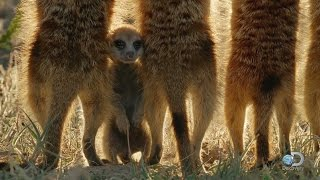 Baby Meerkats Explore the World
