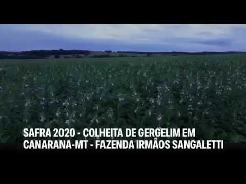 SAFRA 2020 - Colheita de gergelim em Canarana-MT - Fazenda Irmãos Sangaletti