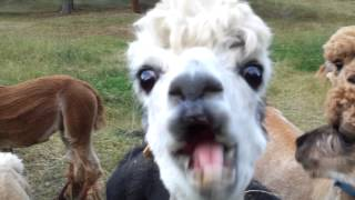 Alpacas trying to eat apples....