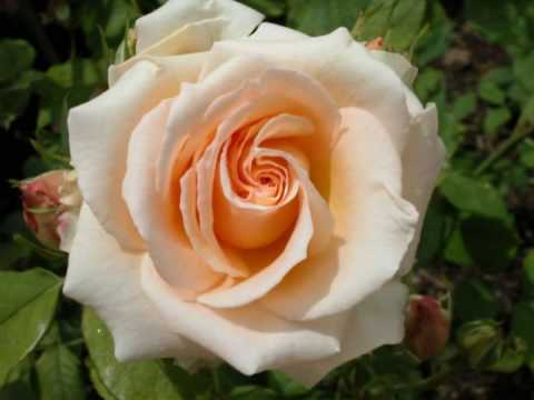 // Bolero de Ravel // Musica Clasica //  Rosas //