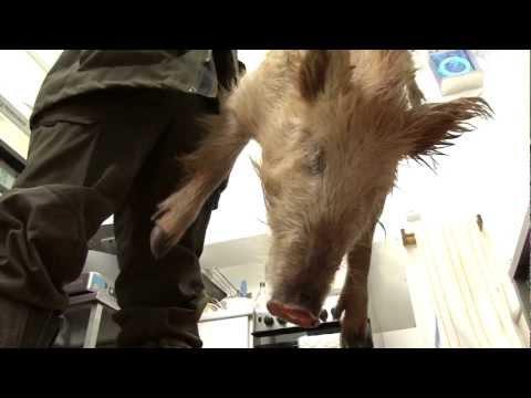 Lov na divlje svinje