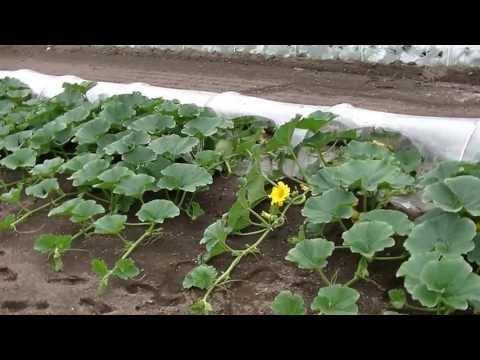 カインズ野菜図鑑 カボチャの育て方 | VideoMoviles.com