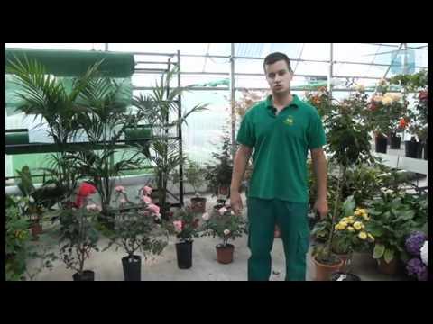 El jard n en tus manos los rosales for Jardinero en casa