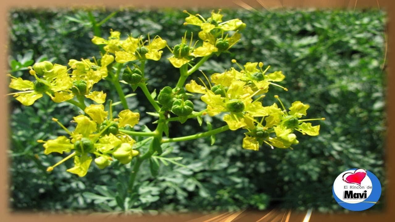 Para que sirve la ruda propiedades y beneficios de la for Planta decorativa con propiedades medicinales