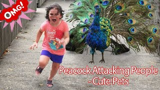 Funny PETS Peacock Attacking People   Funniest Animals Videos 2019 P1