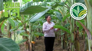 Kỹ thuật trồng chuối tây bằng cây non | VTC16