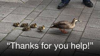Heart-touching moment: Cute ducklings cross busy street escorted by a good samaritan