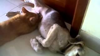 cat drink milk form male dog