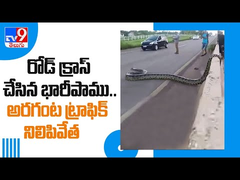 Snake tries to cross busy Karnataka street, brings traffic to a halt; rescued later